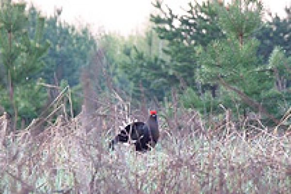 capercaillie_black-cock_13