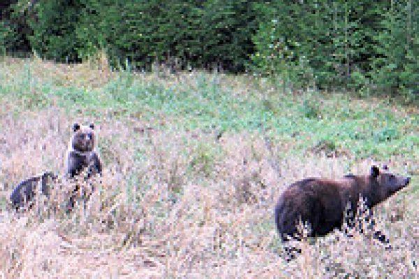 eurasian_brown_bear_12