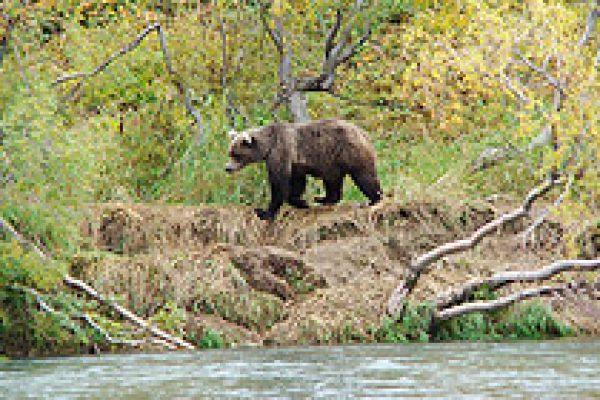 kamchatka_brown_bear_13